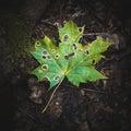 Single green fallen maple leaf Royalty Free Stock Photo