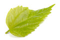 Single green leaf  on white background Royalty Free Stock Images