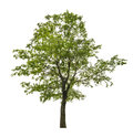 Single green linden tree isolated on white Royalty Free Stock Photo