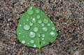 Single Green poplar leaf with water drops on it Royalty Free Stock Photo