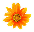A single hdr orange gerbera flower isolated on white you can use the flower in your designs or make patterns out of them please Stock Image