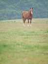 Single horse in spring paddock a chestnut stands alone a grass filled Stock Photos