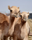 Single hump dromedary Camels Royalty Free Stock Image