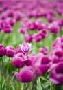 Single hybrid tulip within field of purple flowers Royalty Free Stock Photo