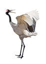 Single isolated japanese crane courtship dance on white background Stock Photo