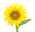 Single isolated sunflower blossom Royalty Free Stock Photo