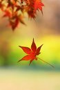 Single japanese maple leaf falling from a tree branch Royalty Free Stock Photo