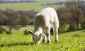 Single lamb eating grass in field in spring time with a county side view Stock Images