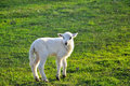 Single lamb on the meadow in morning light grassland Stock Photo