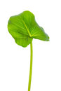 Single leaf of Calla Lily flower is isolated on white background Royalty Free Stock Photo