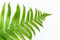 Single leaf of fern on white background. Top view, isolated with copy space. Royalty Free Stock Photo