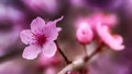 Single macro shot of a pink cherry blossom Royalty Free Stock Photo