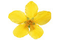Single marsh marigold yellow wildflowers isolated Stock Photos