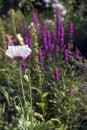 Mauve poppy Royalty Free Stock Photo