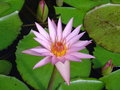 Single mauve water lily Royalty Free Stock Image
