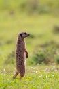 Single meerkat standing upright Royalty Free Stock Photo