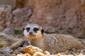 A Single Meerkat or Suricate Taking a Rest in the Shade. Royalty Free Stock Photo
