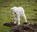 Single new born lamb Royalty Free Stock Photos