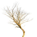 Single old and dead tree isolated on white background Stock Image