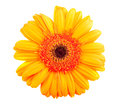 Single orange gerbera flower Royalty Free Stock Photo