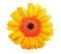 Single orange gerbera flower Royalty Free Stock Photo