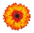 Single orange gerbera flower isolated on white background Royalty Free Stock Photo