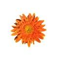 Single orange gerbera flower isolated on white background Royalty Free Stock Photo