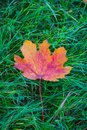 Single orange leaf fallen on green grass Royalty Free Stock Photo