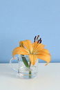 Single orange liliy in a glass of clear water, purity or freshness concept Royalty Free Stock Photo