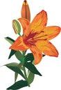 Single orange lily flower on white Royalty Free Stock Photo