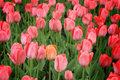 Single orange tulip among purple Royalty Free Stock Photo