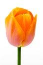 Single Orange Tulip Royalty Free Stock Photo