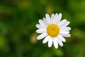 Single Oxeye daisy flower in yellow and white color with blurred