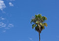 Single Palm Tree in Blue Sky Royalty Free Stock Photography