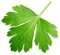 Single parsley herb coriander leaf isolated on white Royalty Free Stock Photo