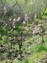 Single peach tree in blossom. Tuscany, Italy Royalty Free Stock Photo