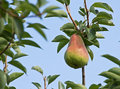 Single Pear Hanging On Tree Blue Sky Royalty Free Stock Images