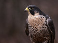 Single peregrine falcon a falco peregrinus perched on a stump these birds are the fastest animals in the world Royalty Free Stock Photo