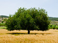 Single Perfect Tree Royalty Free Stock Photo