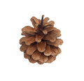 Single pine cone Royalty Free Stock Images