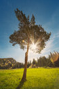 Single pine tree against colorful sun Royalty Free Stock Photo