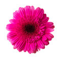 Single pink gerbera flower isolated on white background Royalty Free Stock Photo