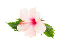 Single pink hibiscus flower with leaves Royalty Free Stock Photo