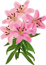 Single pink lily isolated on white background illustration with Stock Photos