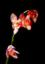 Single pink orchid Royalty Free Stock Photography