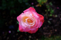 Single pink red rose
