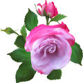 Single pink rose flower and two buds