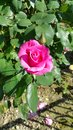 Single pink rose on bush in summer garden Royalty Free Stock Photo