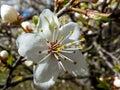 Single plum flower in the garden in the spring