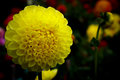 Single pompom dahlia flower blossom Royalty Free Stock Photo